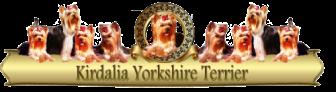 Kirdalia-Yorkshire-Terrier